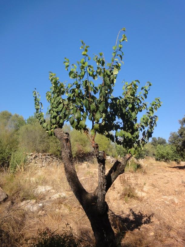Empelts grafts terra i pedra - Graft plum tree tips ...